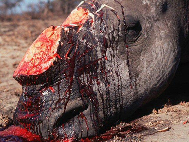 Rhinocéros tué par des braconniers