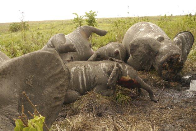 Les braconniers tuent souvent plusieurs éléphants d'un coup