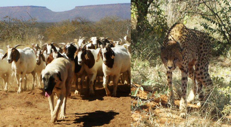 Anatolian-cheetah-2015-Wildlifeangel