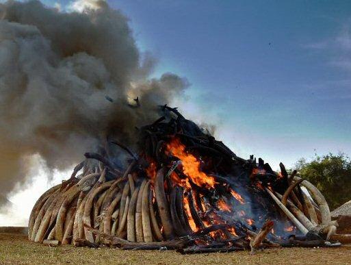 Kenya brûle l'ivoire