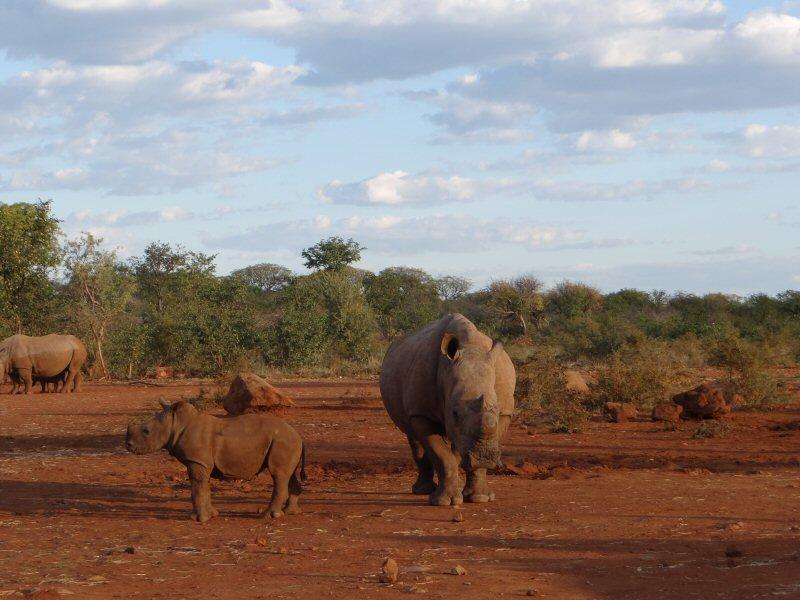 OZ-rhinos4