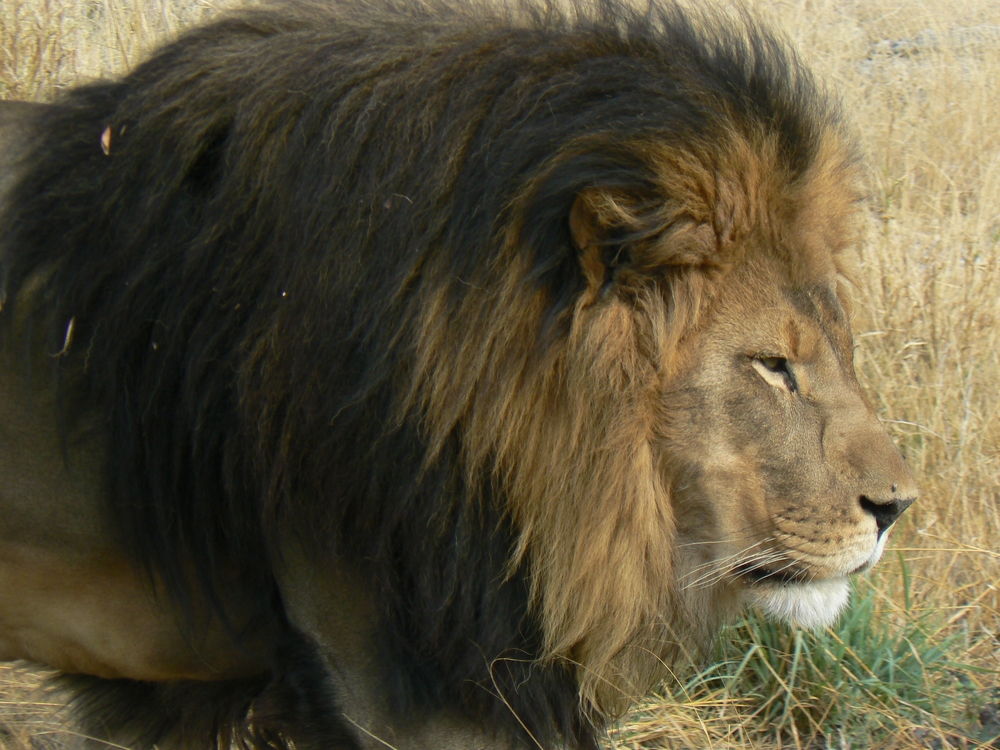 Lion megafaune