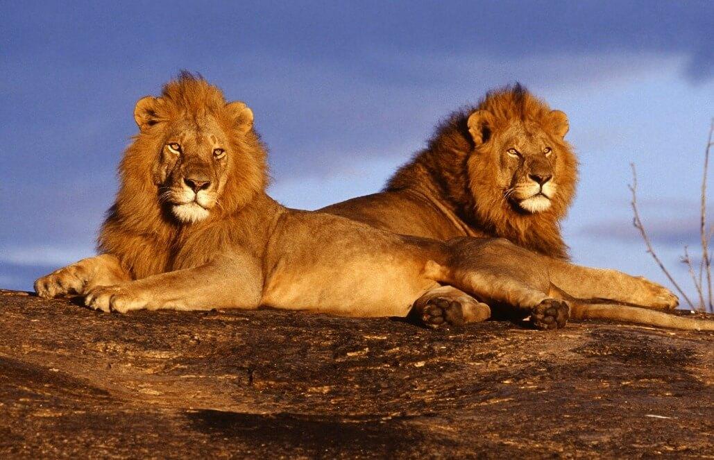 mara lions