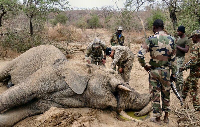 Elephant braconnage Niger