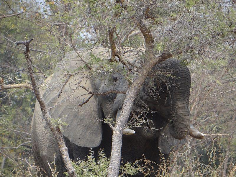 Eléphant dans le parc W du Niger
