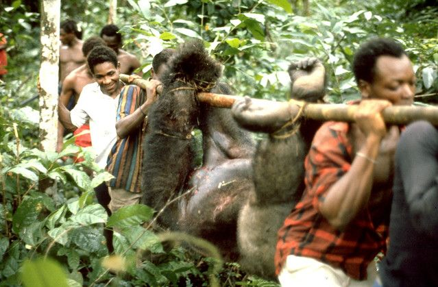Chasse au gorille pour la viande de brousse