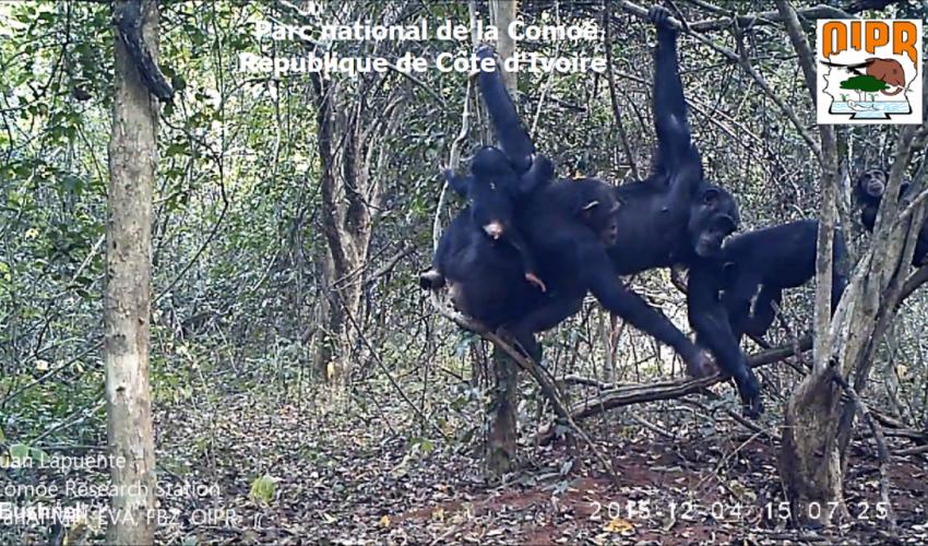 chimpanze_0