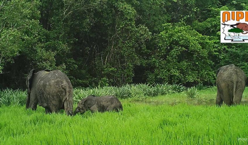 elephant-3-comoe