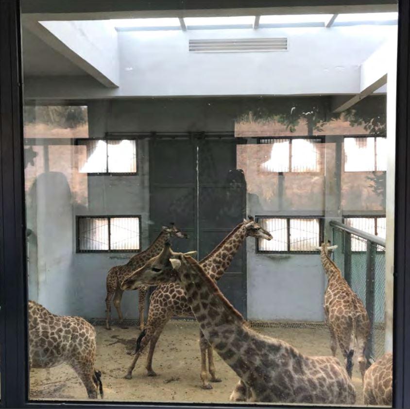girafe-zoo-chine