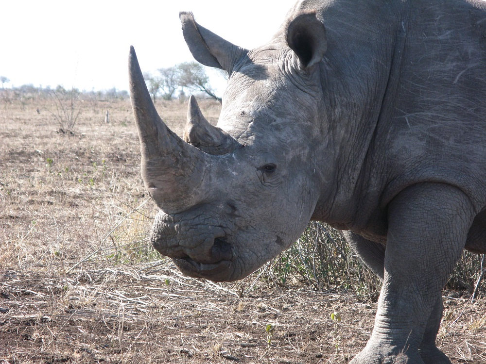 Rhinocéros rôle écologique