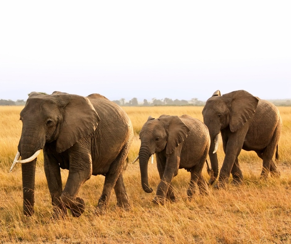 population-elephant-kenya (1)