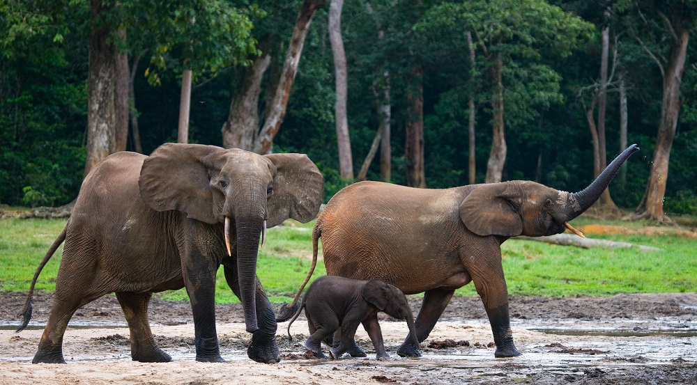 elephant-foret-trafic-illegal-nigeria-ivoire